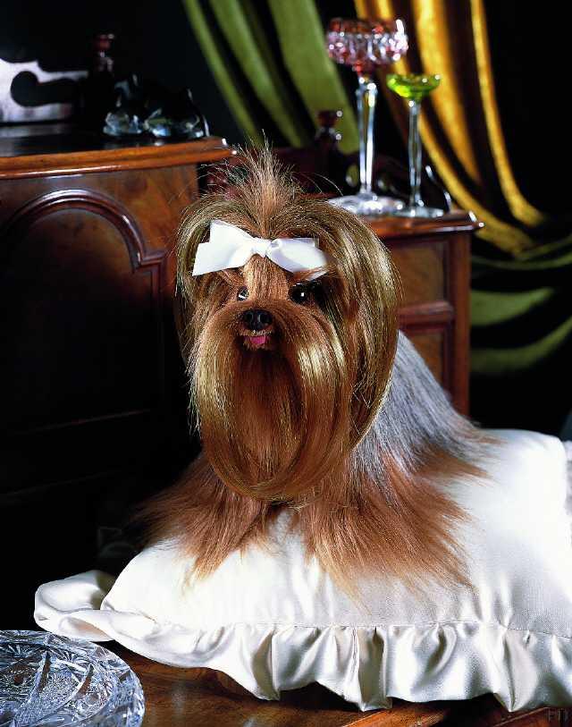 alles über yorkshire terrier